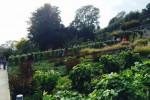 Vendange de la vigne «la Duche», vigne du district de Nyon